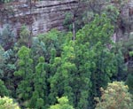 Aerial view of Wollemi Pines in Wild