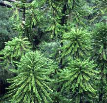 Images of the Wollemi Pine